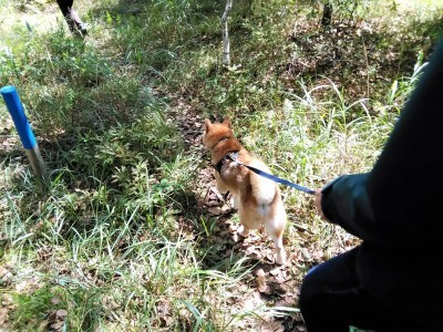 八ヶ岳2020(1) 気持ちが顔に出る柴犬_c0221299_20124638.jpg
