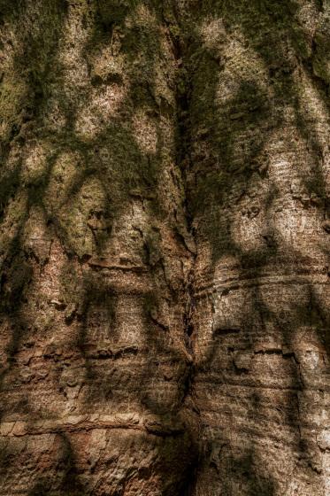木の生命力 No38「けやき」_a0096313_15411013.jpg