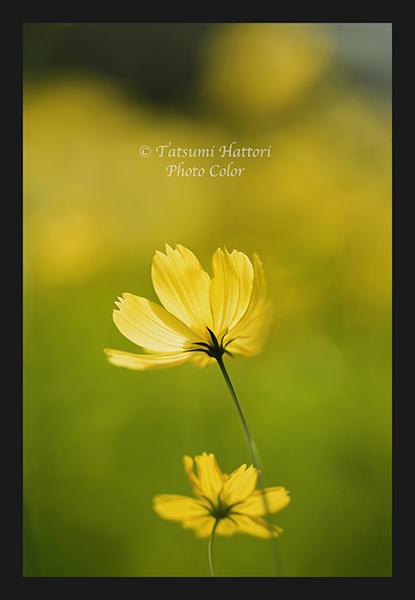 黄花コスモス咲く 3_f0078127_08053892.jpg