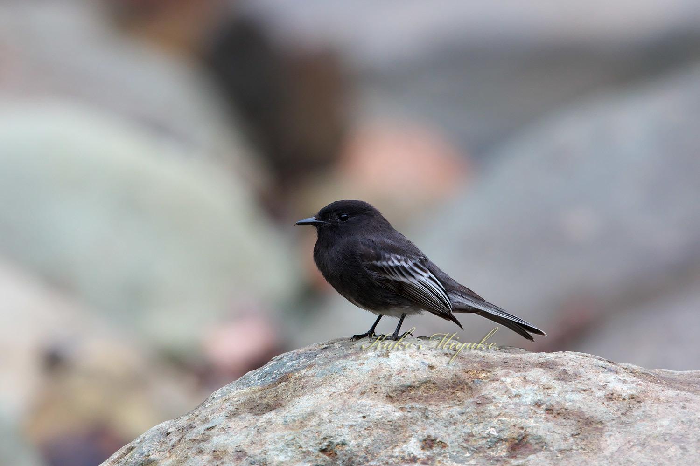 ・クロツキヒメハエトリ(Black Phoebe )   エクアドル探鳥記_d0013455_17051045.jpg