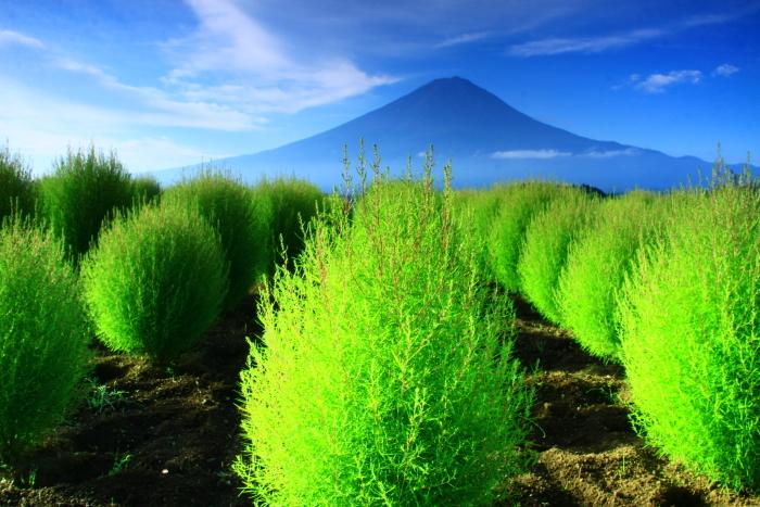 令和2年9月の富士(9) 大石公園のコキアと富士_e0344396_19024687.jpg