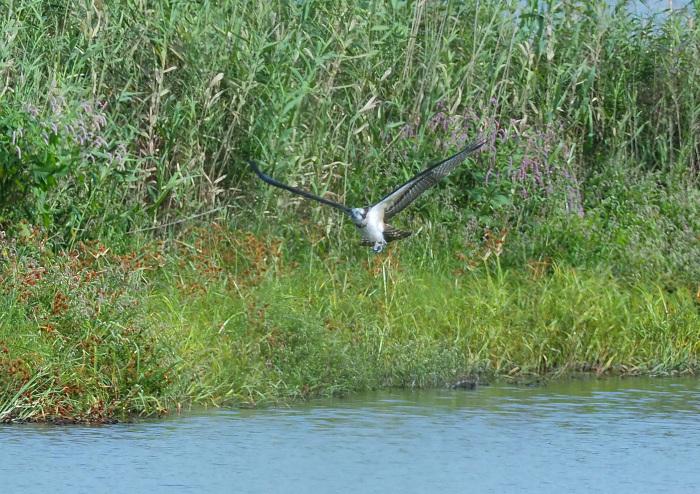 美しき湿原にミサゴがやって来た Ⅴ_d0290240_11080337.jpg