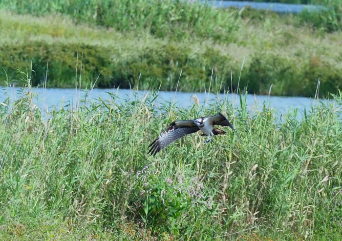 美しき湿原にミサゴがやって来た Ⅴ_d0290240_11080436.jpg