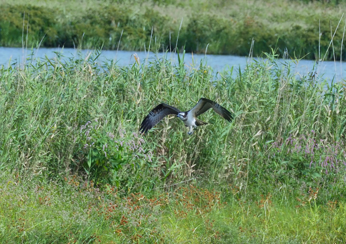美しき湿原にミサゴがやって来た Ⅴ_d0290240_11080486.jpg