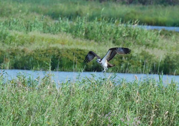 美しき湿原にミサゴがやって来た Ⅴ_d0290240_11080533.jpg