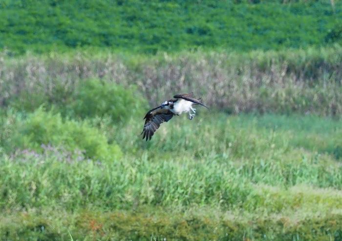 美しき湿原にミサゴがやって来た Ⅴ_d0290240_11080654.jpg