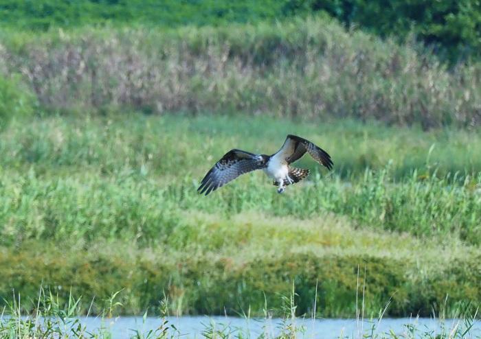 美しき湿原にミサゴがやって来た Ⅴ_d0290240_11080696.jpg