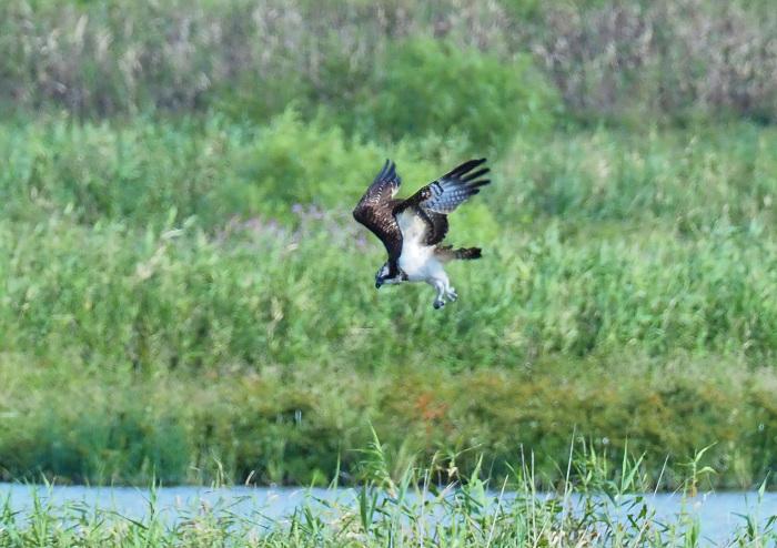 美しき湿原にミサゴがやって来た Ⅴ_d0290240_11080732.jpg