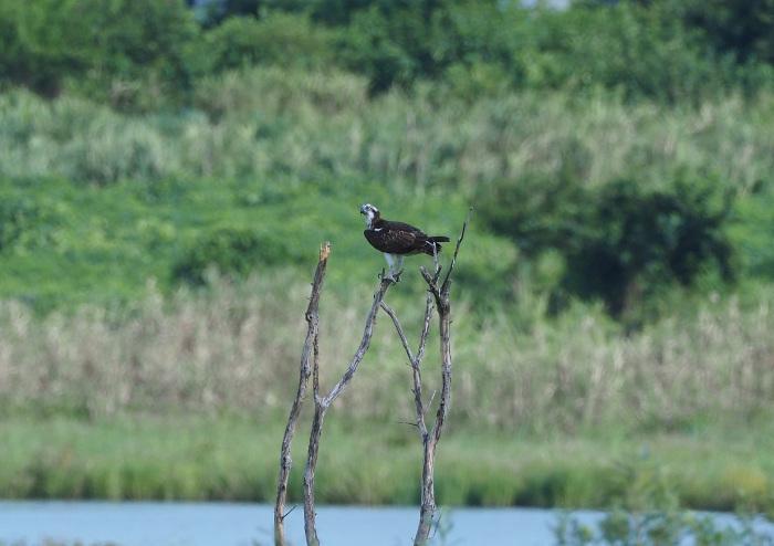 美しき湿原にミサゴがやって来た Ⅴ_d0290240_11080752.jpg