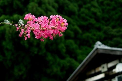 タマゴタケと百日紅・・・くつきの森、未来の森づくりと薪ネット例会_d0005250_1884985.jpg