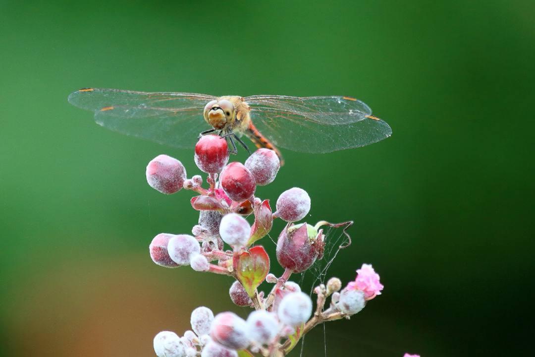 トンボや蝶と植物_e0403850_20203089.jpg