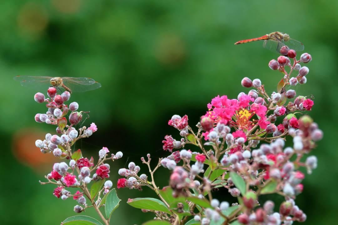 トンボや蝶と植物_e0403850_20203539.jpg
