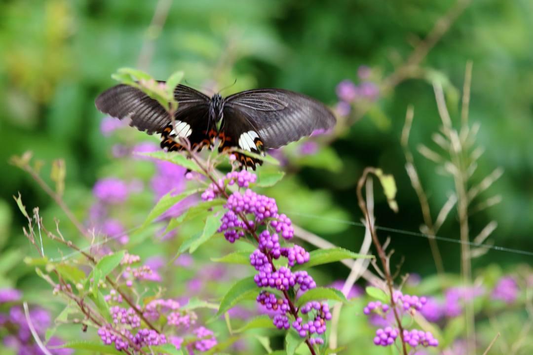 トンボや蝶と植物_e0403850_20220154.jpg