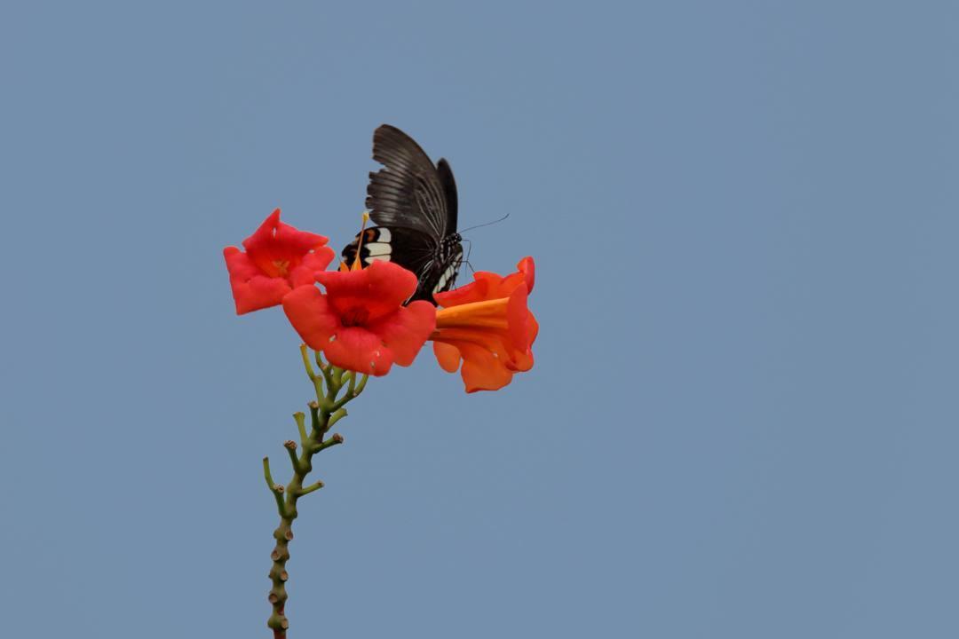 トンボや蝶と植物_e0403850_20221728.jpg