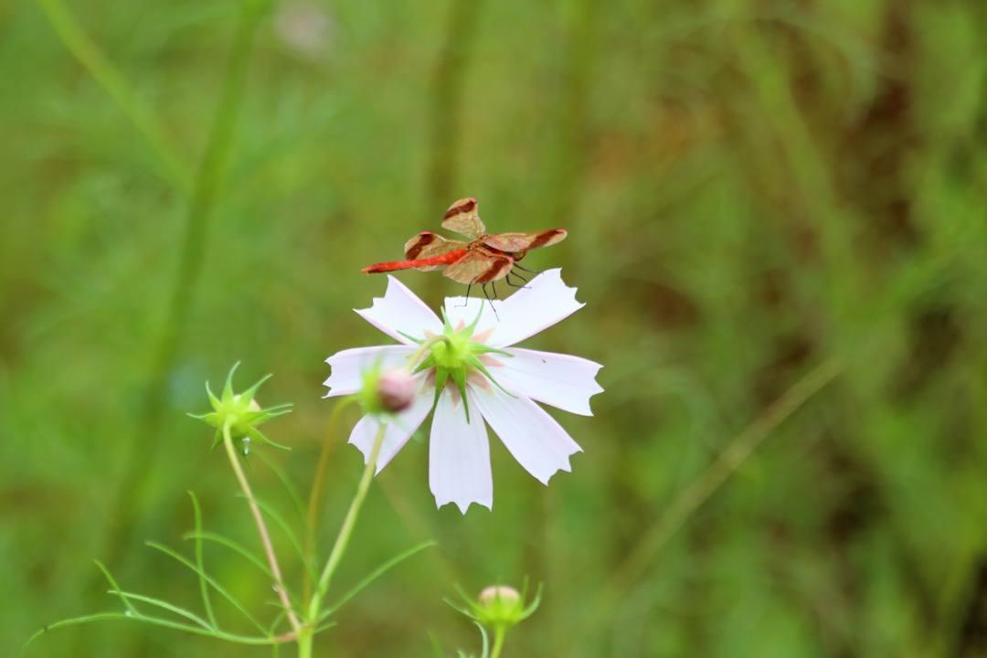 トンボや蝶と植物_e0403850_21063804.jpg