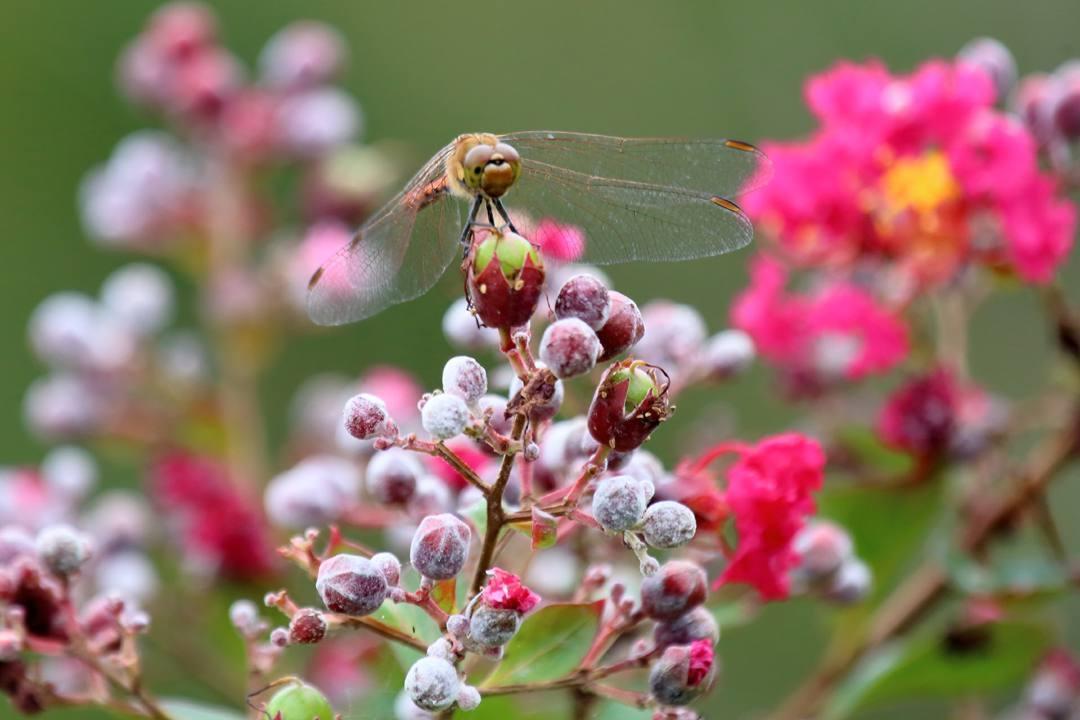 トンボや蝶と植物_e0403850_21074766.jpg