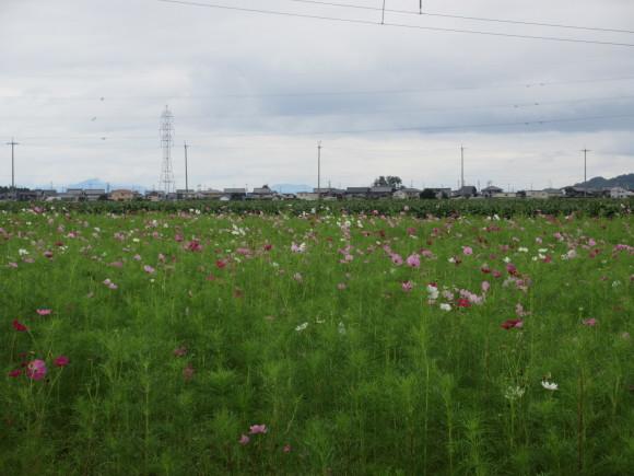 野田のコスモス_d0154954_20240280.jpg