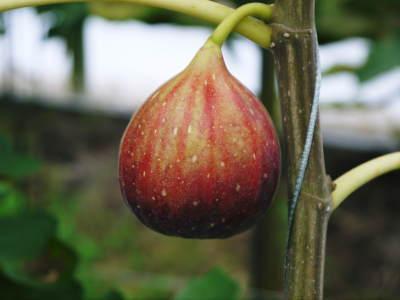 『甘熟いちじく』数量限定、完全予約制好評発売中!いちじくは不老長寿の果実とも呼ばれているフルーツです_a0254656_19035824.jpg