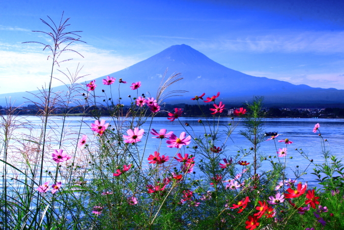 令和2年9月の富士(11) 河口湖畔コスモスと富士_e0344396_18415187.jpg