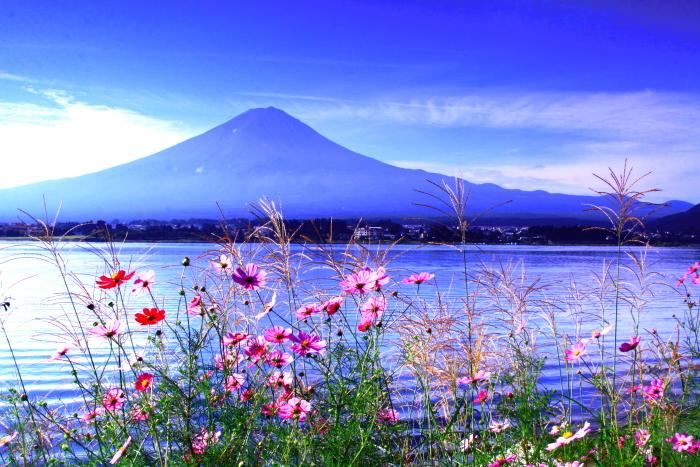 令和2年9月の富士(11) 河口湖畔コスモスと富士_e0344396_18415226.jpg