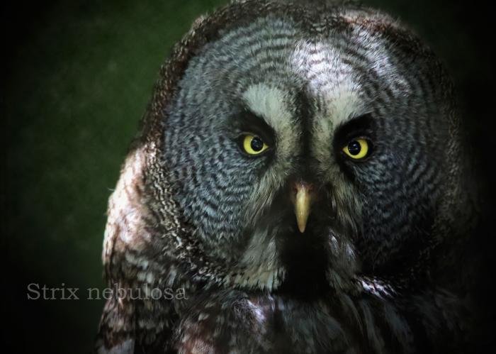 カラフトフクロウ:Great Grey Owl_b0249597_06243912.jpg