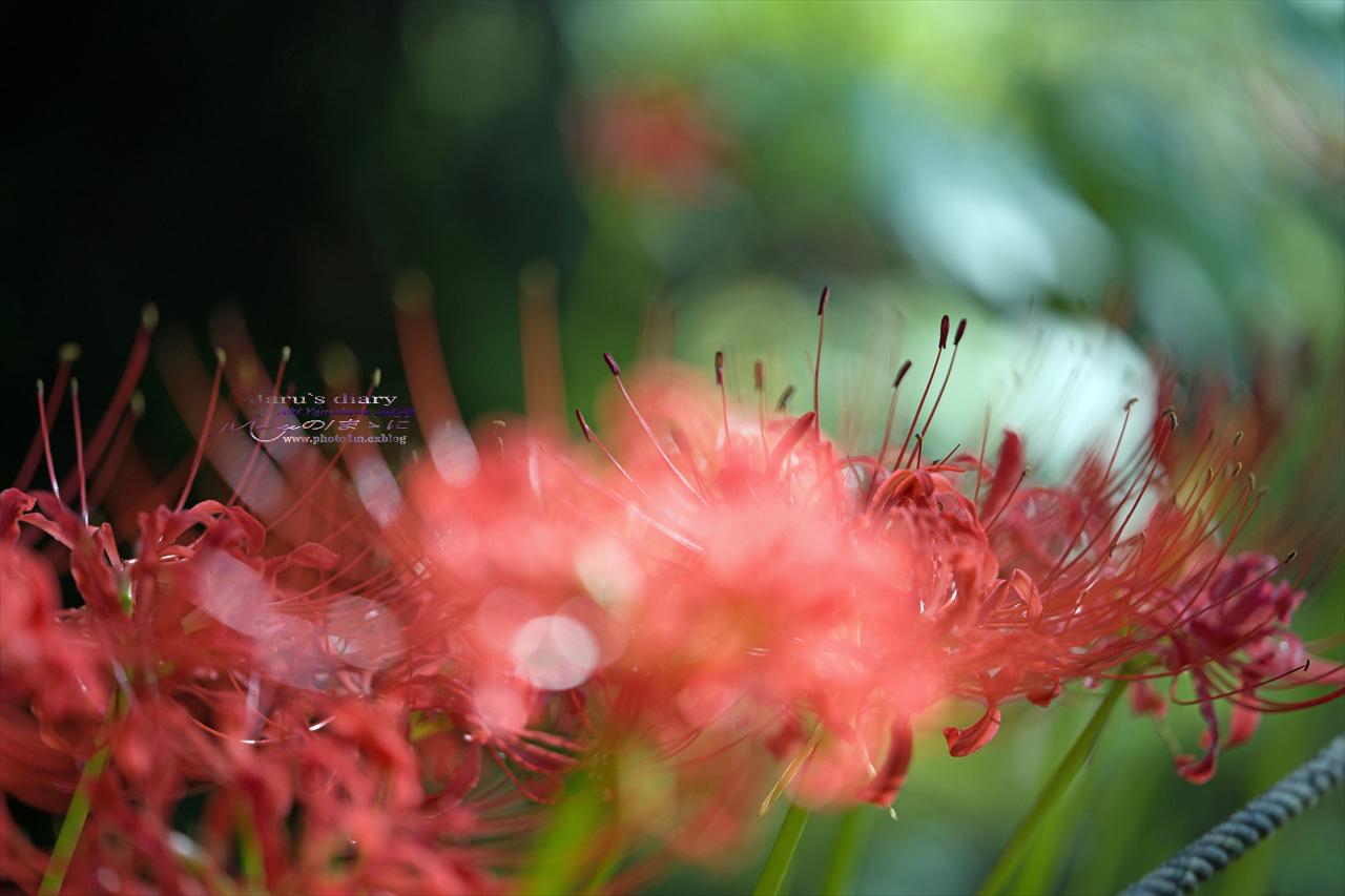 ままに/9月の散策 智光山公園 曼珠沙華 紫苑 他_d0342426_21380454.jpg