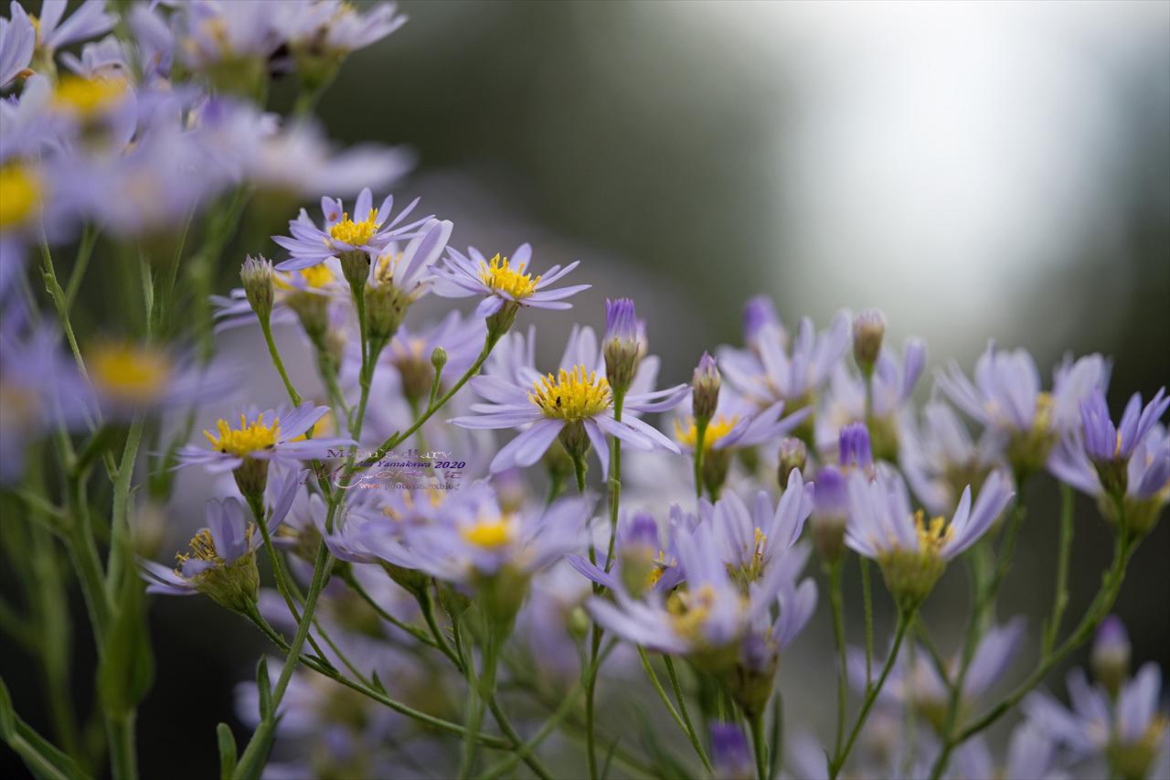 ままに/9月の散策 智光山公園 曼珠沙華 紫苑 他_d0342426_21381510.jpg