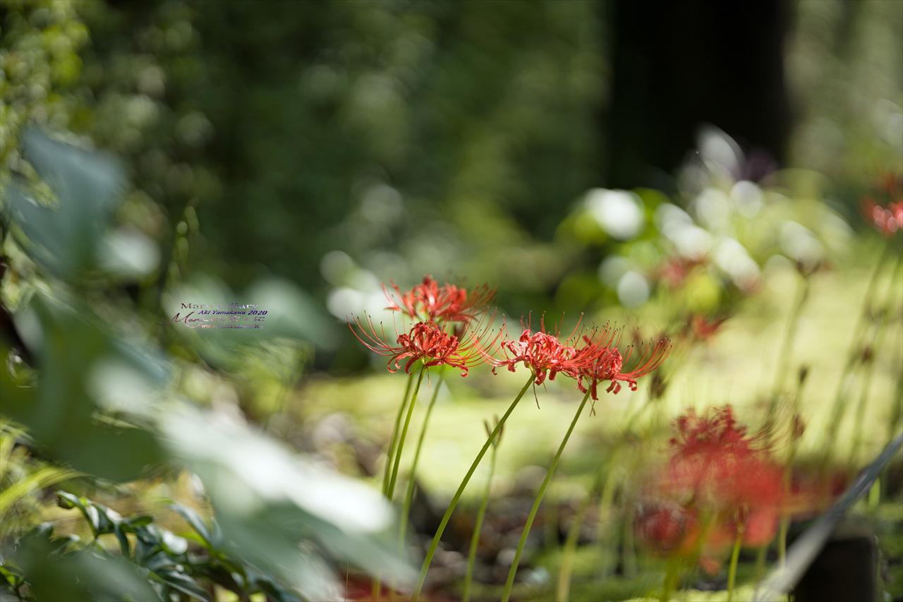 ままに/9月の散策 智光山公園 曼珠沙華 紫苑 他_d0342426_21402939.jpg