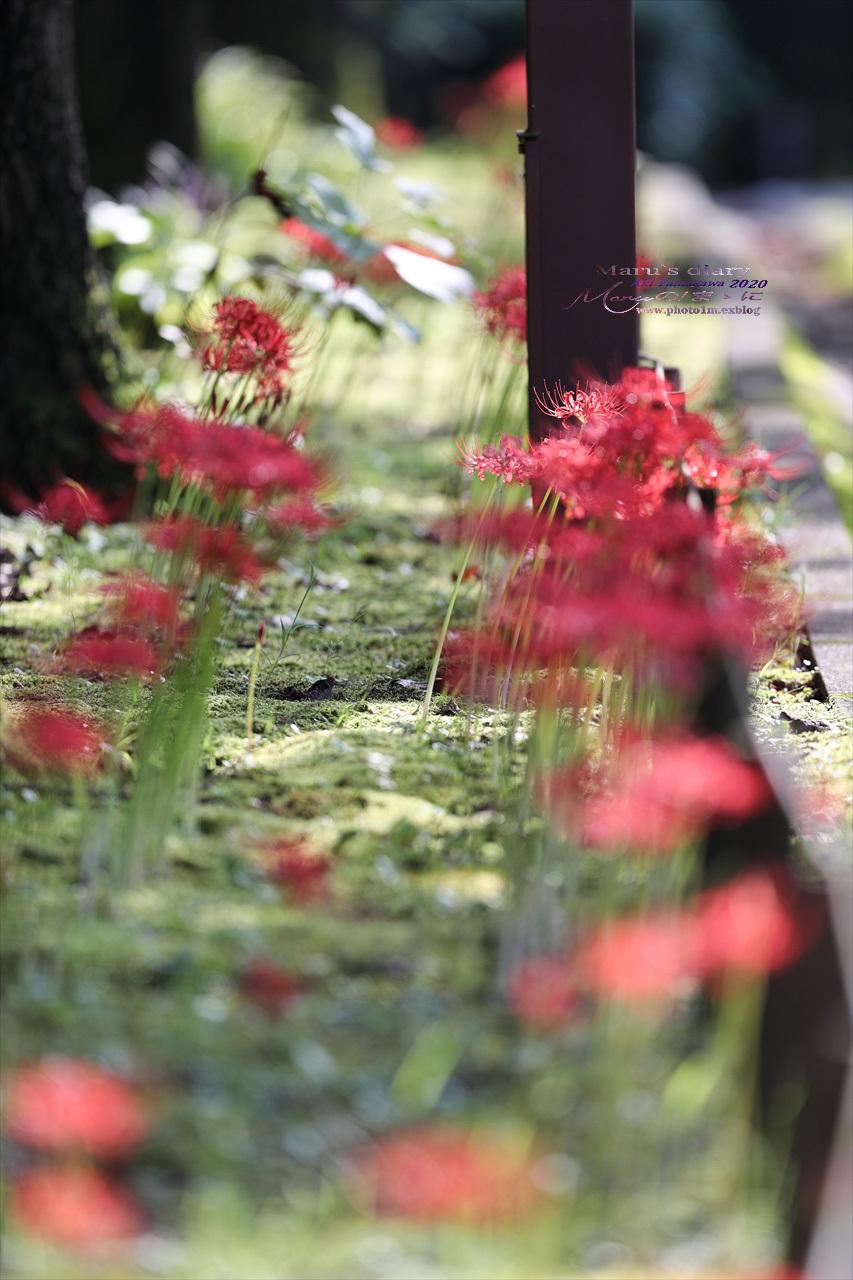 ままに/9月の散策 智光山公園 曼珠沙華 紫苑 他_d0342426_21415270.jpg