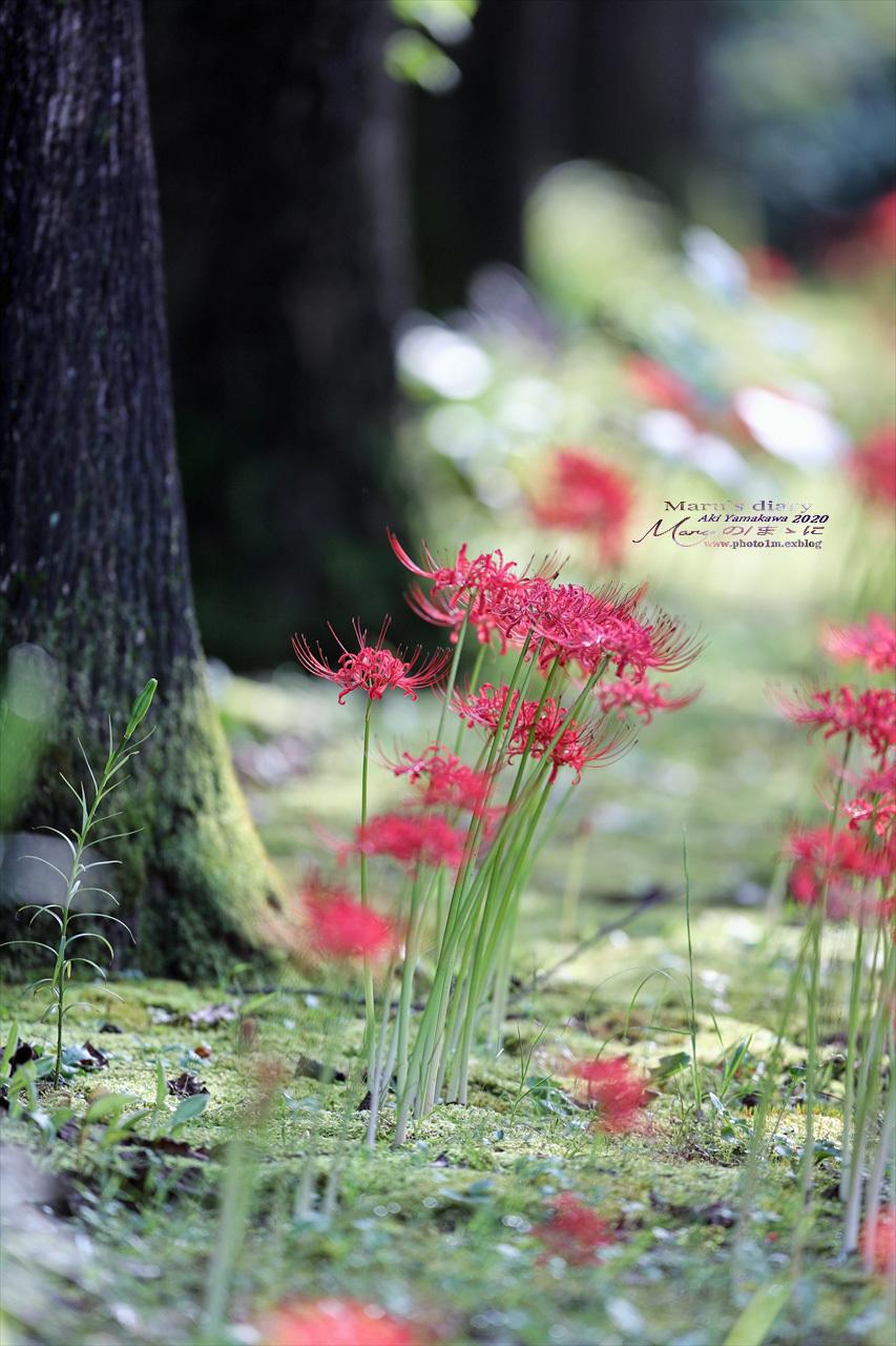 ままに/9月の散策 智光山公園 曼珠沙華 紫苑 他_d0342426_21415273.jpg