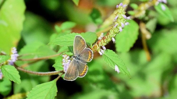 今日の蝶達_e0405343_17404735.jpg
