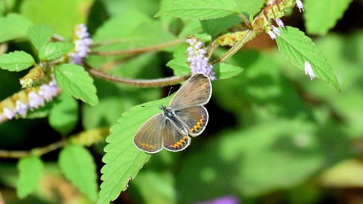 今日の蝶達_e0405343_17404797.jpg