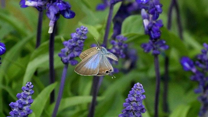 今日の蝶達_e0405343_17405401.jpg