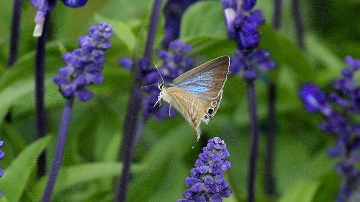 今日の蝶達_e0405343_17405451.jpg