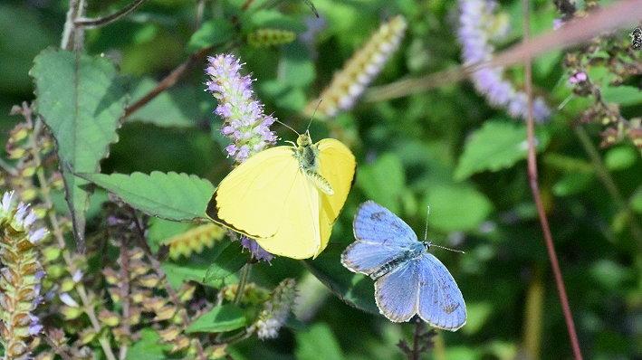 今日の蝶達_e0405343_17405458.jpg