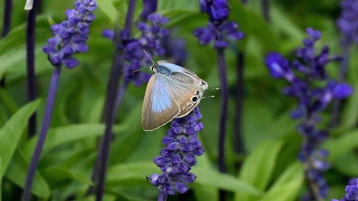 今日の蝶達_e0405343_17405463.jpg