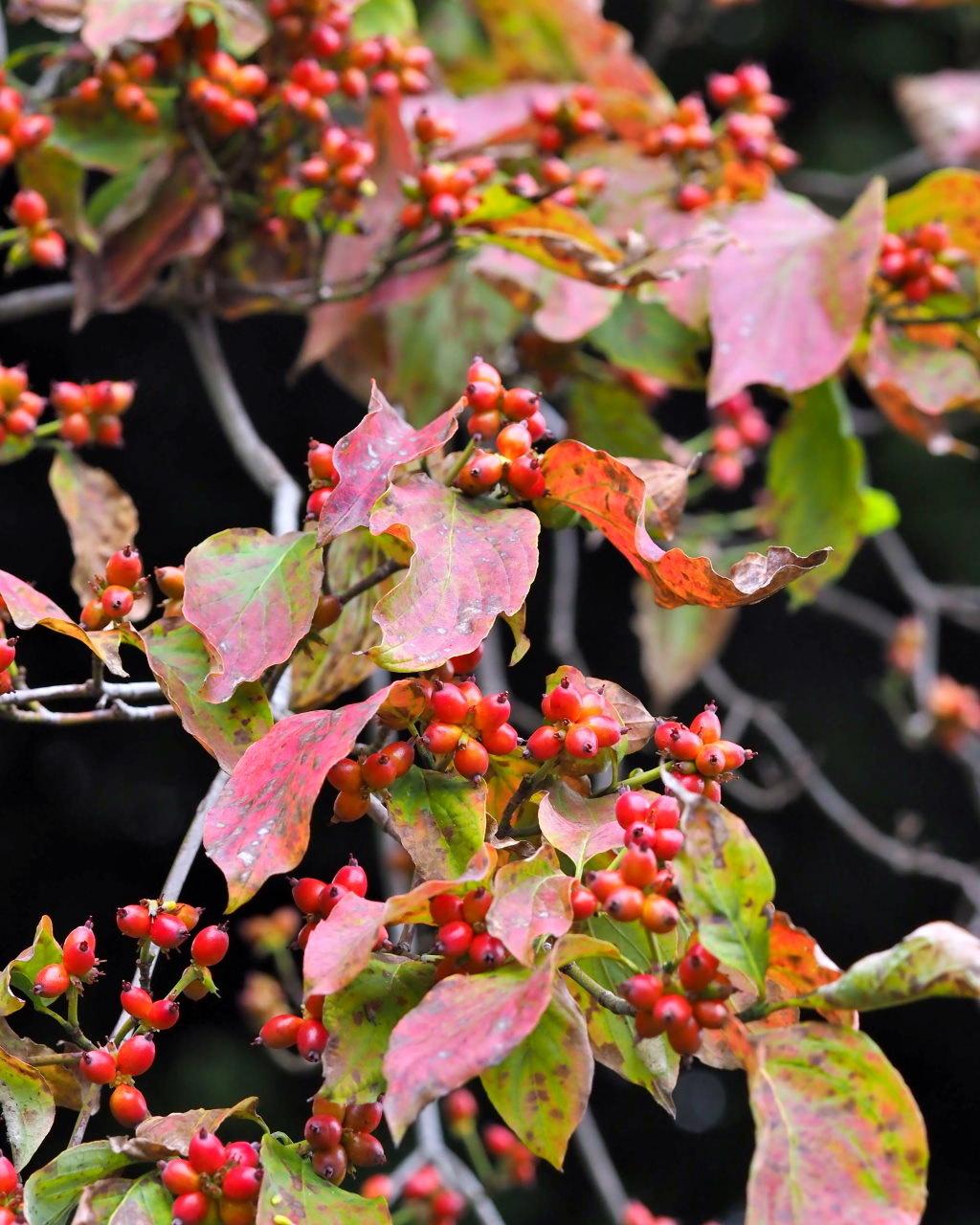 群馬の森で秋色 心配な返り咲きも_c0305565_17301876.jpg