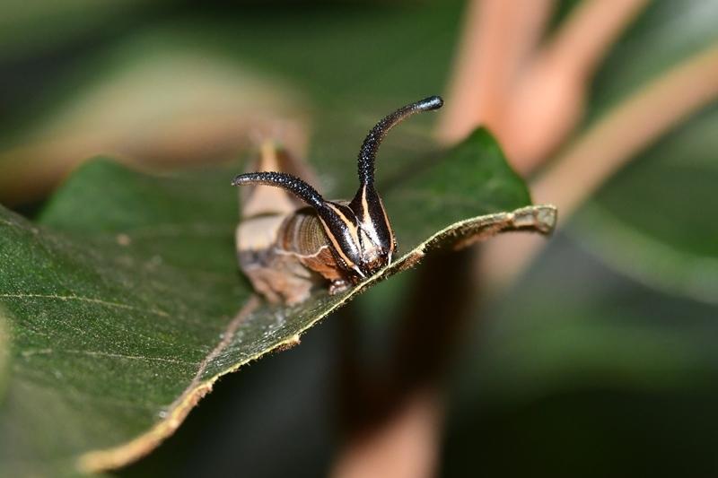 スミナガシの幼虫初見 Byヒナ_c0343075_18514944.jpg