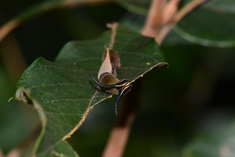 スミナガシの幼虫初見 Byヒナ_c0343075_18520496.jpg