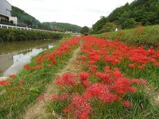 矢掛町のヒガンバナ_e0046477_18270931.jpg