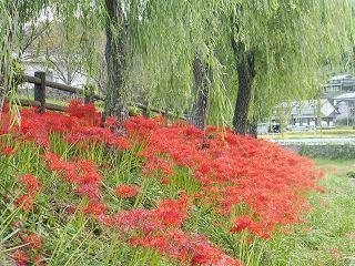 矢掛町のヒガンバナ_e0046477_18273563.jpg