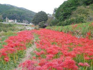 矢掛町のヒガンバナ_e0046477_18274933.jpg