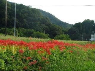 矢掛町のヒガンバナ_e0046477_18300314.jpg