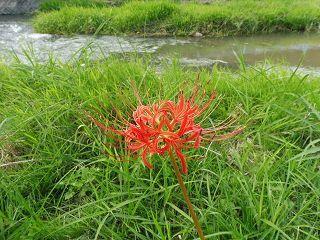 矢掛町のヒガンバナ_e0046477_18362481.jpg