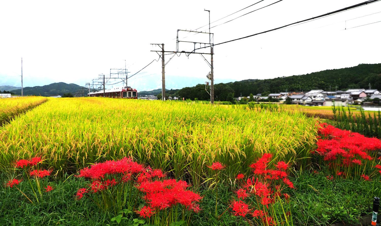 彼岸花―近鉄電車_e0254493_14333539.jpg
