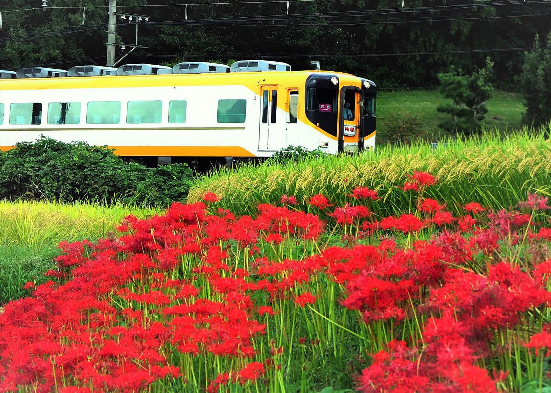 彼岸花―近鉄電車_e0254493_14491851.jpg