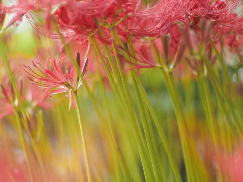 雑草園の曼珠沙華 見ごろ_f0224100_22474261.jpg