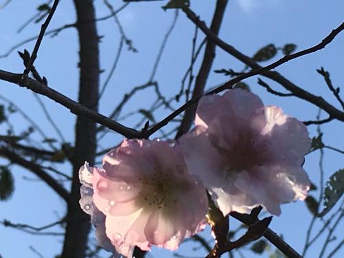 桜? / yoshi_d0135801_21361524.jpg