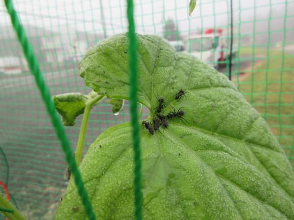 蟻さんはキュウリがお好き?_d0154954_21593624.jpg