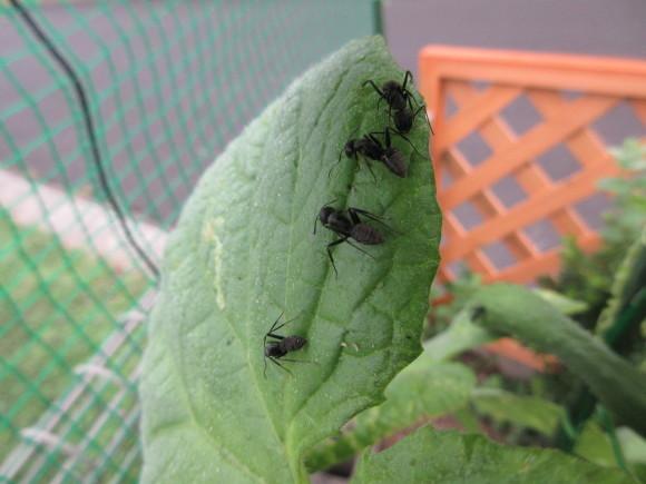 蟻さんはキュウリがお好き?_d0154954_21594779.jpg